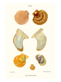 Oyster Shells Posters by John Mawe