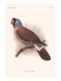 Mascarinus Mascarinus Poster by Lionel Walter Rothschild