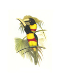 Wied's Aracari - Black Necked Posters by John Gould