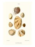 Venus Shells Poster by John Mawe