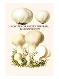 Bovista or Paltry Puffball and Lycoperdon Posters by Edmund Michael