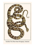 Garden Tree Boa from Paraguay, Amazon Prints by Albertus Seba