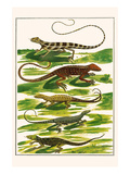 Lizards, Anoles, Print by Albertus Seba
