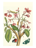 Frangiani and Red Cracker Butterfly Premium Giclee Print by Maria Sibylla Merian