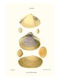 Trough Shells Posters by John Mawe