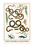 Snakes, Caterpillars, Lizards and Heath Posters by Albertus Seba
