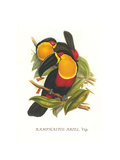 Ariel Toucan Prints by John Gould