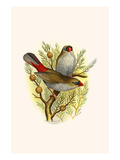 Australian Fire Tailed Finch Print by F.w. Frohawk