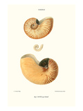 Nautilus Shell Prints by John Mawe