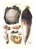 Vegetables: Califlower, Gourds, Potato, Onion, Prints by Philippe-Victoire Leveque de Vilmorin
