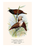 Black Headed Mannikin and White Headed Mannikin Prints by F.w. Frohawk