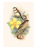 Bicheno's Finch and Cherry Finch Prints by F.w. Frohawk