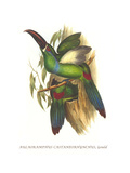 Crimson Rumped Toucanet Posters by John Gould