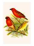 Madagascar Weaver and Comoro Weaver Prints by F.w. Frohawk