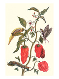 Cherry Pepper and Tobacco Hornworm with Five Spotted Hawkmoth Premium Giclee Print by Maria Sibylla Merian