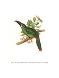 Crimson Rumped Toucanet Poster by John Gould
