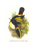 Cuvier's Toucan Poster by John Gould