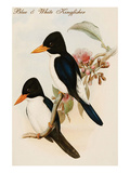 Blue and White Kingfisher Poster by John Gould
