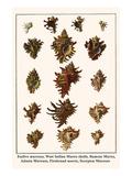Endive Murexes, West Indian Murex Shells, Ramose Murex, Adusta Murexes, Firebrand Murex, etc. Poster by Albertus Seba