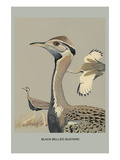 Black Bellied Bustard Posters by Louis Agassiz Fuertes