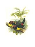 Curl Crested Aracari Print by John Gould