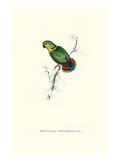Swindern's Parakeet - Agapornis Swindernianus Poster von Edward Lear