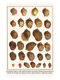 Fig Shells, Papery Rapa Snails, Sootted Tun Shells, Mediterranean Bonnets, etc. Prints by Albertus Seba