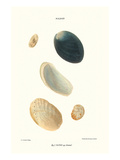 Abalone Shells Prints by John Mawe