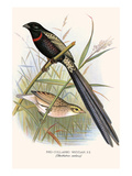 Red Collared Whydah Prints by F.w. Frohawk
