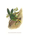 Emerald Toucanet Print by John Gould