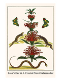Lion's Ear and a Crested Newt Salamander Art by Albertus Seba