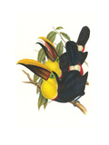 Choco Toucan Prints by John Gould