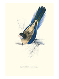 Brown's Parakeet - Platycercus Venustus Posters by Edward Lear