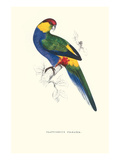 Red Capped Parakeet Male -Purpureicephalus Spurius Art by Edward Lear