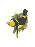 Hybrid Toucan Posters by John Gould