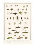 Ichneumon Wasps, Flies, Potter Wasp, Bees, Wood Wasp, Stonefly, Mayfly, Beetles, Jewel Beetle, etc. Prints by Albertus Seba
