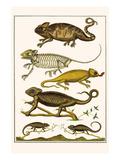 Chameleons Art by Albertus Seba