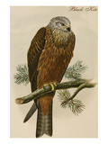 Black Kite Affiches par John Gould