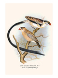 Pin Tailed Whydah Posters by F.w. Frohawk