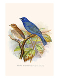 Indigo Bunting Posters by F.w. Frohawk