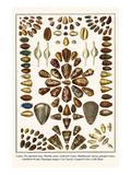 Cones, Fly-Specked Cone, Marble Cones, Lettered Cones, Shuttlecock Volvas, Polyglot Cones, etc. Poster by Albertus Seba