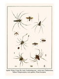 Spider Wasp, Crane Fly, Ants, Leafcutting Ant, Velvet Ant, Chelicerates, Tailess Whipscorpion, etc. Prints by Albertus Seba