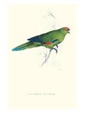 Pacific Parakeet - Cyanorhamphus Novaevelandiae Print by Edward Lear