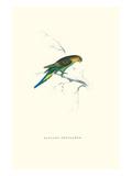 Undulated Parakeet - Nelopsittacus Undulatus Posters by Edward Lear