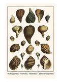 Melongenidae, Voletudae, Thaididae, Cymbiolavespertilio Poster by Albertus Seba