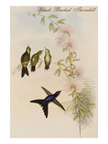 Black Backed Thornbill Print by John Gould