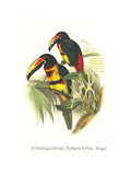 Collared Aracari Prints by John Gould