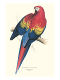 Red and Yellow Macaw - Ara Macao Posters by Edward Lear