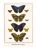Butterflies, Blue Morphos, Prints by Albertus Seba