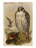 Island Falcon - Adult Poster by John Gould